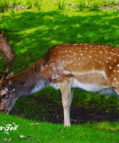 Dunham Massey Deer by Ryan Taylor - Sony Alpha a200