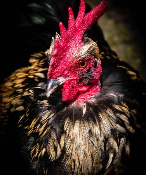 Cockerel portrait by Terry Hamilton - Canon 5D MkIV
