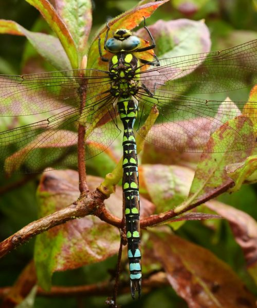 Resting Dragonfly by Denise Hornsby Lumix g80