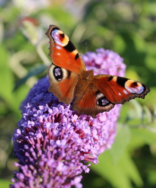 Beautiful Butterfly by Linda Coulson - iPhone 8