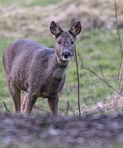 Roe Deer by Owen Seymour - Canon 70D