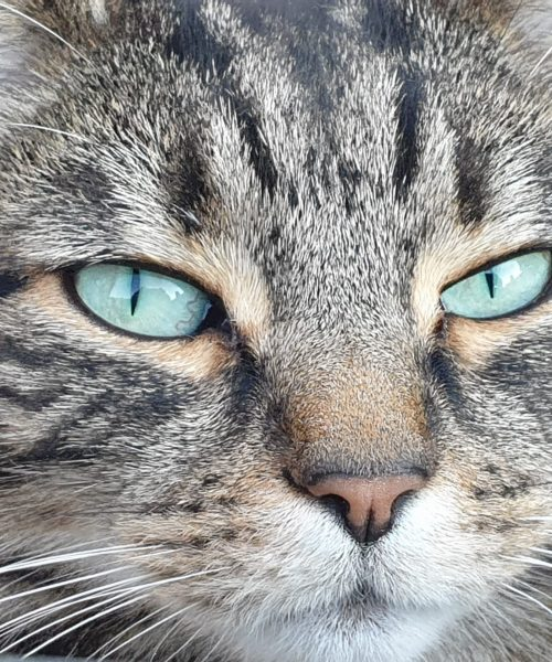 Pussy Cat by Christine Thorpe Samsung Galaxy