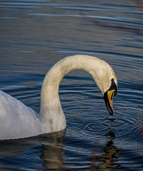 Mute Swan by Cameron Taylor - LUMIX G2