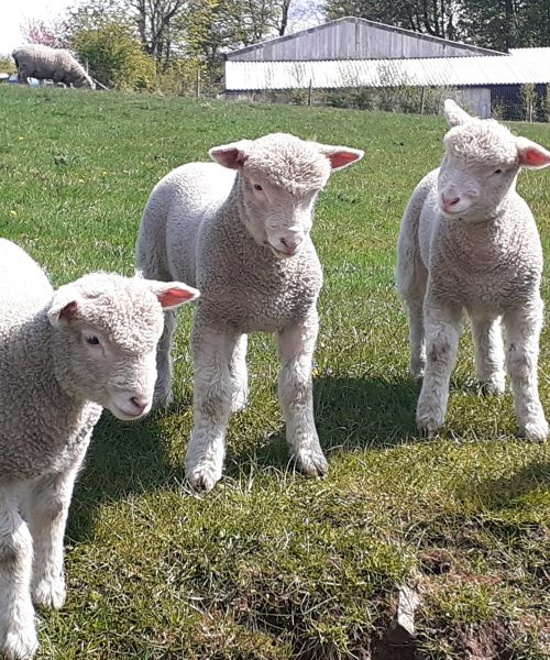 Curious lambs by Tracey Shaylor - Samsung A20
