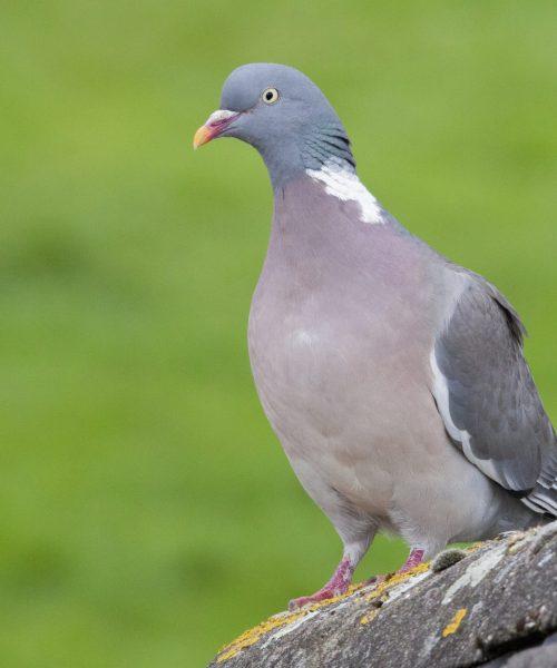 Wood Pigeon by Owen Seymour - Canon 50D