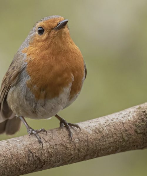 Robin red breast by John Thirkell - Canon 7D Mark ii