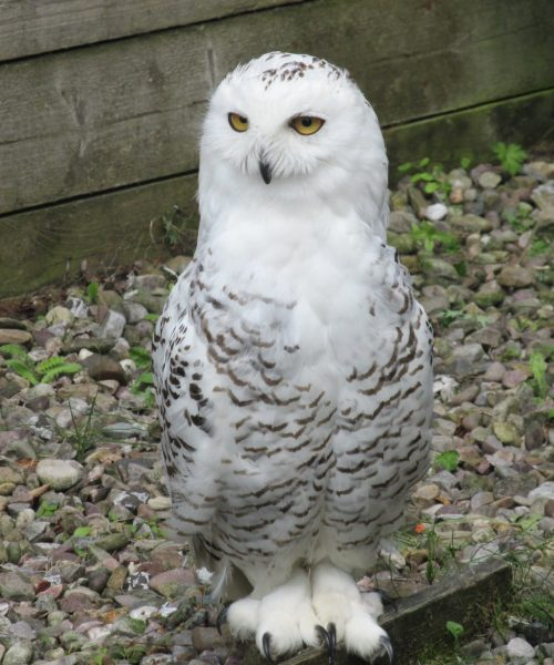 Snowy owl by Diane Badcock - Canon SX170IS